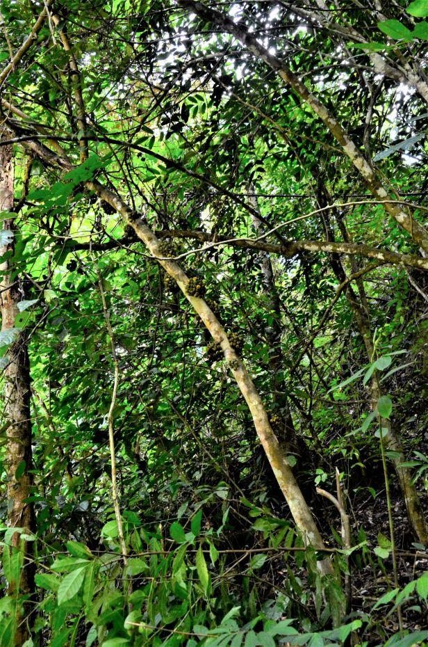 12 Ficus fistulosa fem Nalumad, Sg. Mokodou●20190360★Shuai LIAO-LSL_9005.JPG