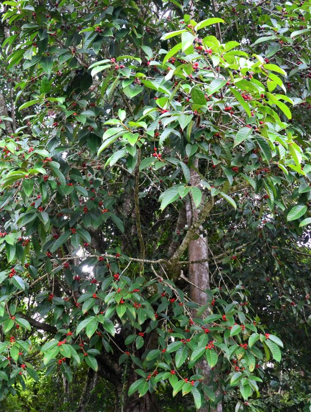 12 Ficus forstenii Ranau Kg. Luanti Baru, ●20190406★ Shuai LIAO-LSL_0966.JPG