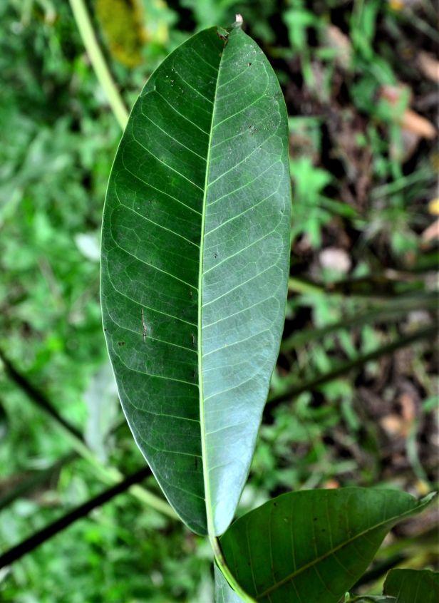 12 Ficus lawesii  Sukau Rainforest Lodge●20190470★Shuai LIAO-LSL_3457.JPG