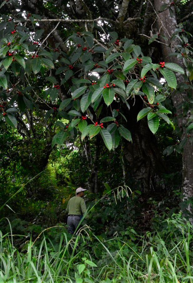 13 Ficus forstenii Ranau Kg. Luanti Baru, ●20190406★ Shuai LIAO-LSL_0966.JPG