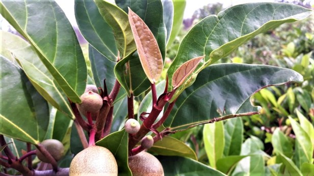 Ficus apiocarpa  Pontianak 02 .jpg