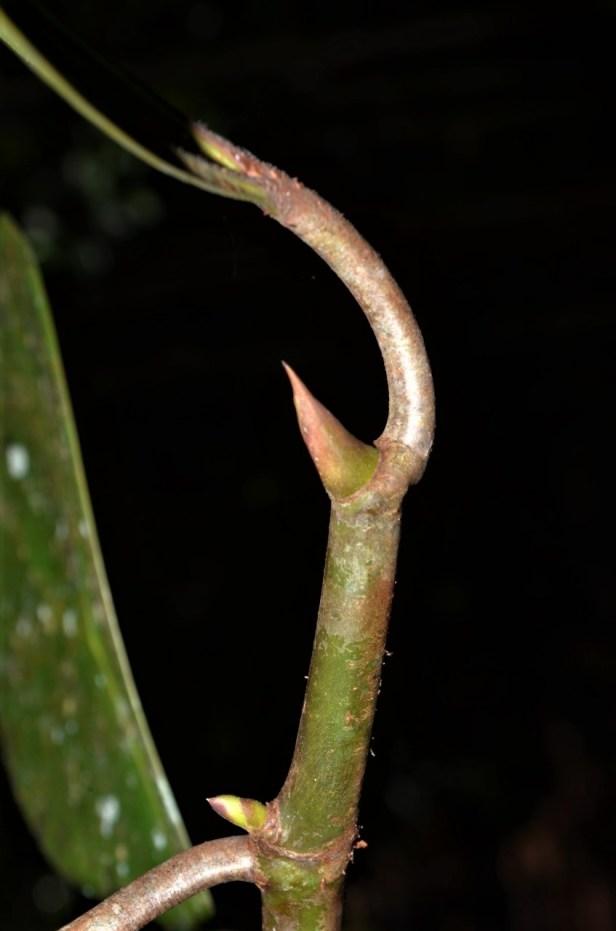 Ficus deltoidea Pontianak peatswamp (2).jpg