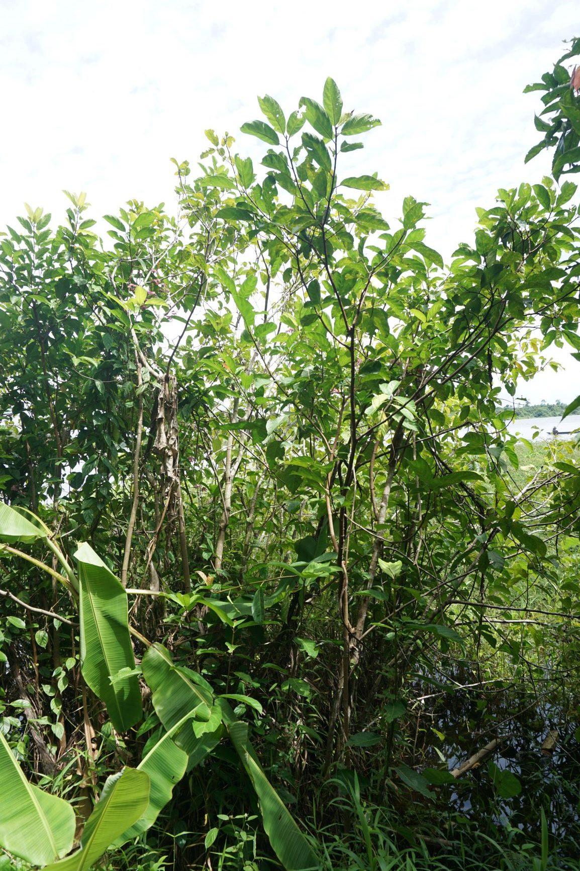 Ficus fistulosa Kapuas floodplain Ripin DSC02837.JPG