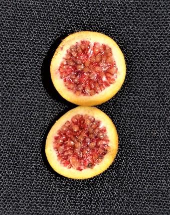 Ficus grossularioides Pontianak (1).jpg