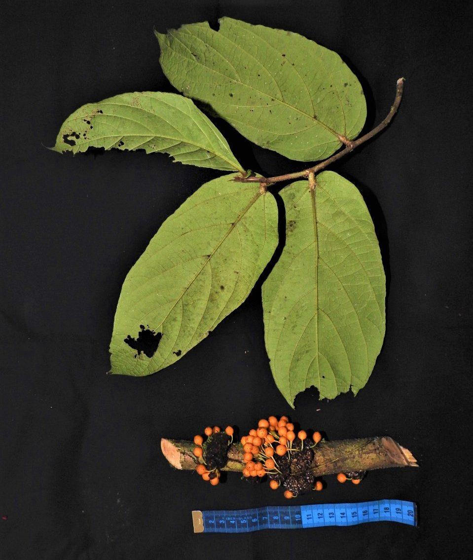 Ficus hemsleyana Pontianak peatswamp (9).jpg