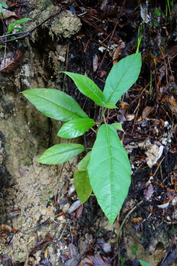 Ficus sp sapling EG895 a - Copy - Copy.JPG