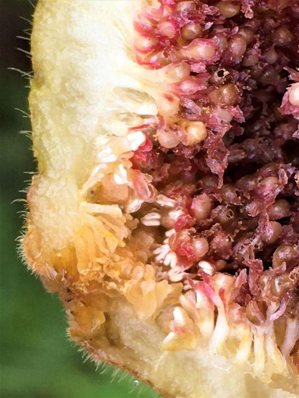 WEB Ficus  fulva male. Kapid EG886.JPG