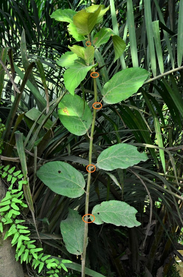02 Ficus fistulosa hybrid Tongod, Beside Jln Imbak - Luasong●20190423★ Shuai LIAO-LSL_1631.JPG
