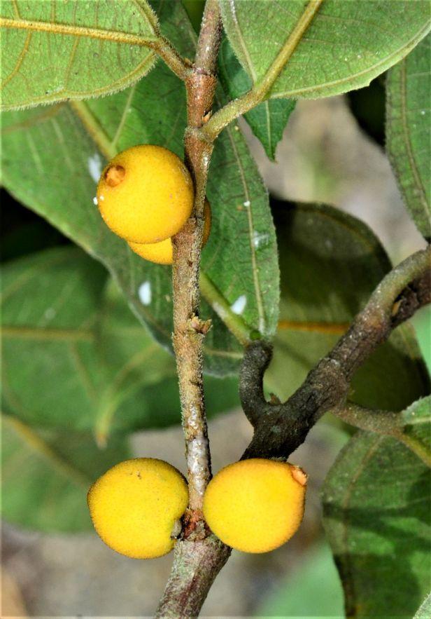 02 Ficus inaequipetiolata, Tongod, Tangkulap FR●20190413★ Shuai LIAO-LSL_1299