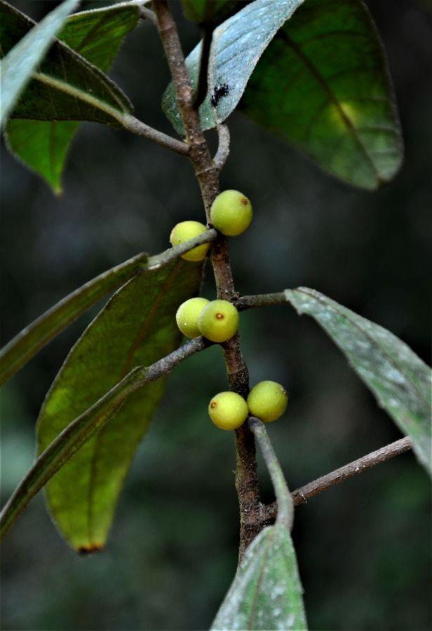 02 Ficus inaequipetiolata Tongod, Tangkulap FR 02 ●20190417★Shuai LIAO-LSL_1438.JPG
