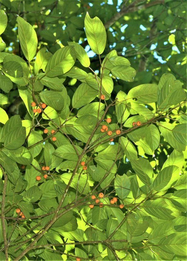 02 Ficus lumutana female DVFC Mike Bernadus ●20200034★Xin-Xin ZHOU_DSC_3325.JPG