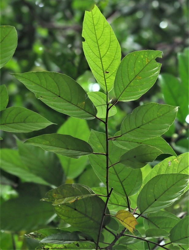 02 Ficus obpyramidata—Taman Negara★Qin-Wen LIN_P1191554.JPG