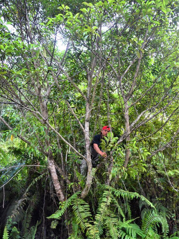 02 Ficus subgelderi Telupid, Mantapok Nature T  150m●20190409★ Shuai LIAO-LSL_1086.JPG