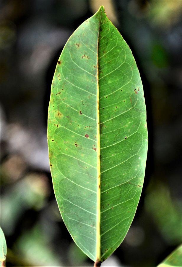 03 Ficus caulocarpa Kg. Sukau, Kinabatangan opp Police Station●20190477★ Shuai LIAO-LSL_3659.JPG