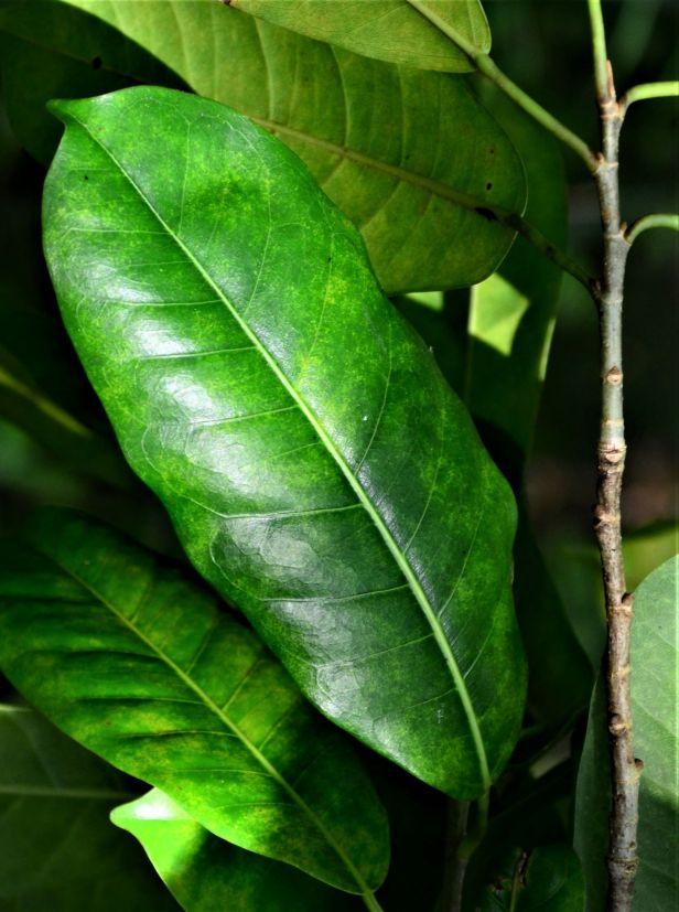 03 Ficus virens. Nalumad●20190363★ Shuai LIAO-LSL_0687.JPG