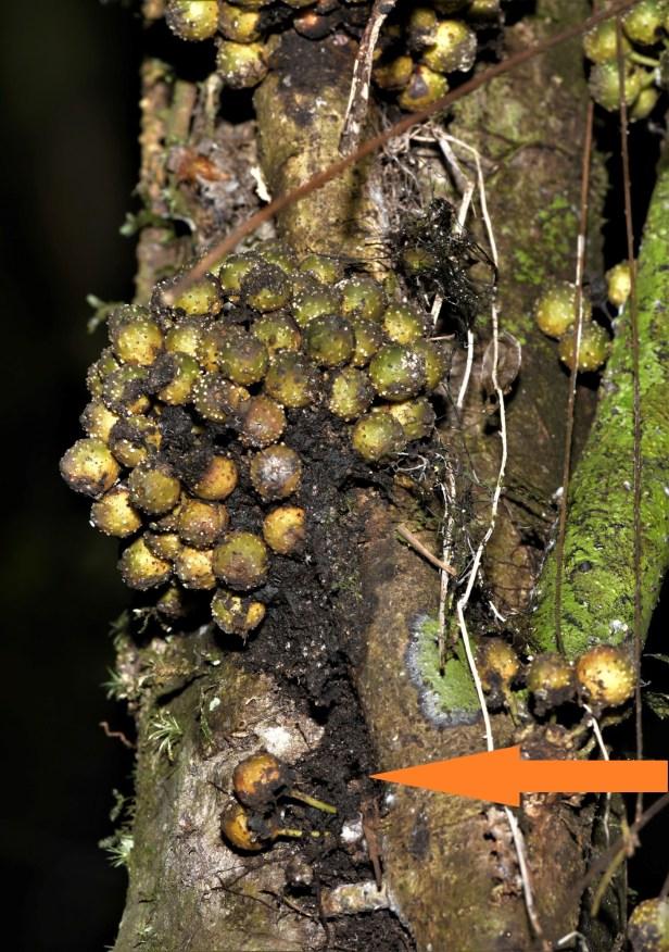 04 Ficus midotis Tawau Hills Park 20 Jan 2020 ★Xin-Xin ZHOU_DSC_3947.JPG