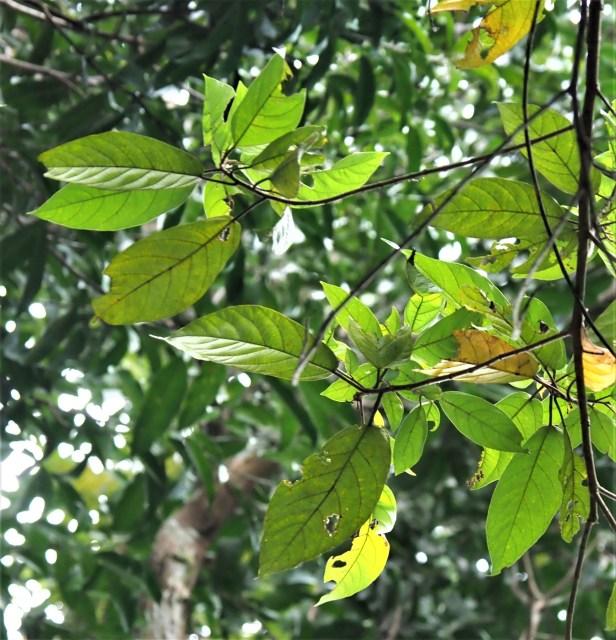 04 Ficus obpyramidata—Taman Negara★Qin-Wen LIN_P1191554.JPG