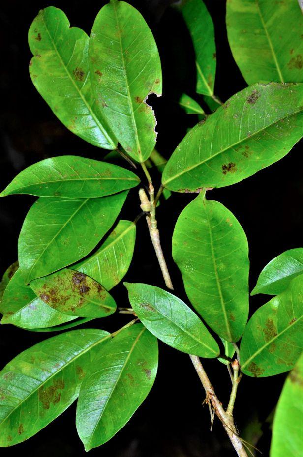 04 Ficus virens Sepilok FR●20190442★ Shuai LIAO-LSL_2253