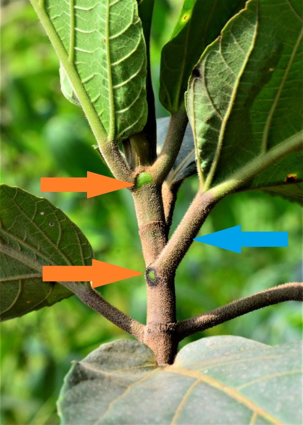 05 Ficus fistulosa hybrid Tongod, Beside Jln Imbak - Luasong●20190423★ Shuai LIAO-LSL_1631.JPG