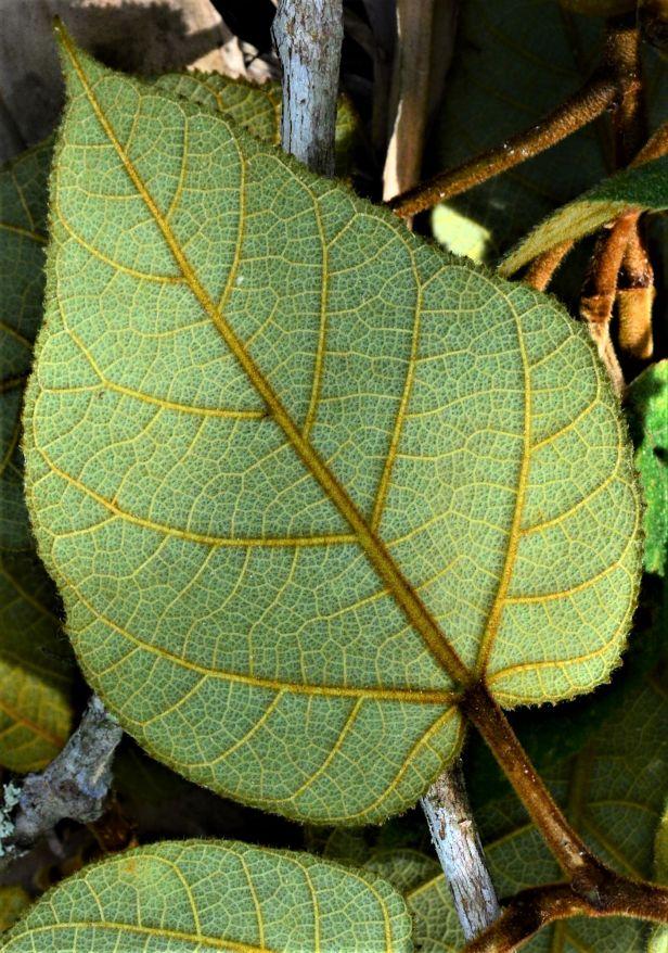 06 Ficus eumorpha Entrance Mesilau Nature Resort●20190367★ Shuai LIAO-LSL_9271