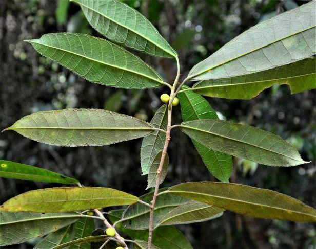 06 Ficus inaequipetiolata Tongod, Tangkulap FR 02 ●20190417★Shuai LIAO-LSL_1438.JPG