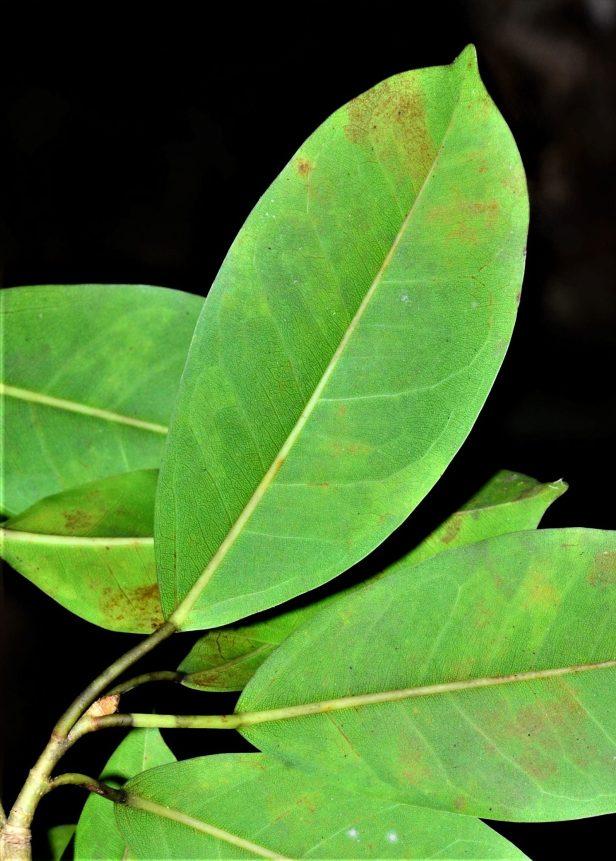 06 Ficus virens Sepilok FR●20190442★ Shuai LIAO-LSL_2253.JPG