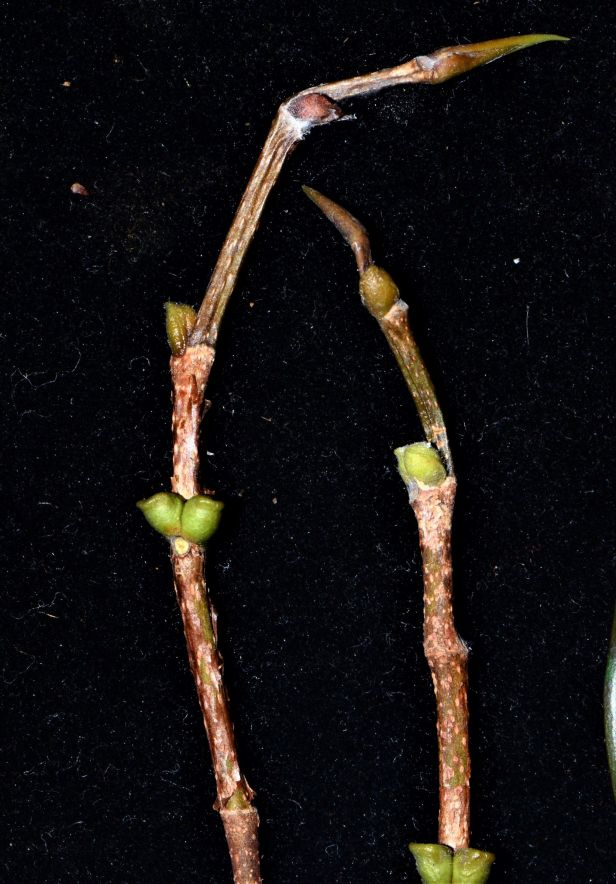 08 Ficus benjamina Ranau, Chon Chu Kung Temple●20190403★ Shuai LIAO-LSL_0902