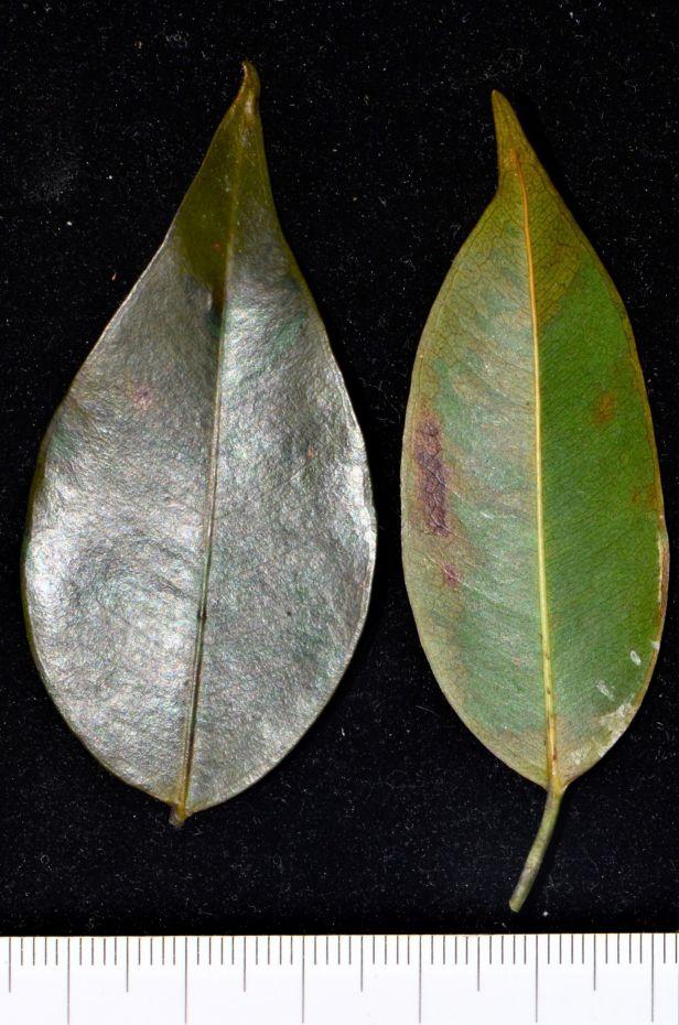 09 Ficus benjamina Ranau, Chon Chu Kung Temple●20190403★ Shuai LIAO-LSL_0902