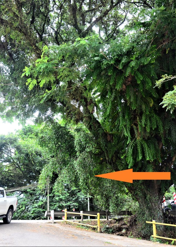 10 Ficus benjamina Pekan, Ranau Bangunan Gerai ●20190343★Shuai LIAO.JPG