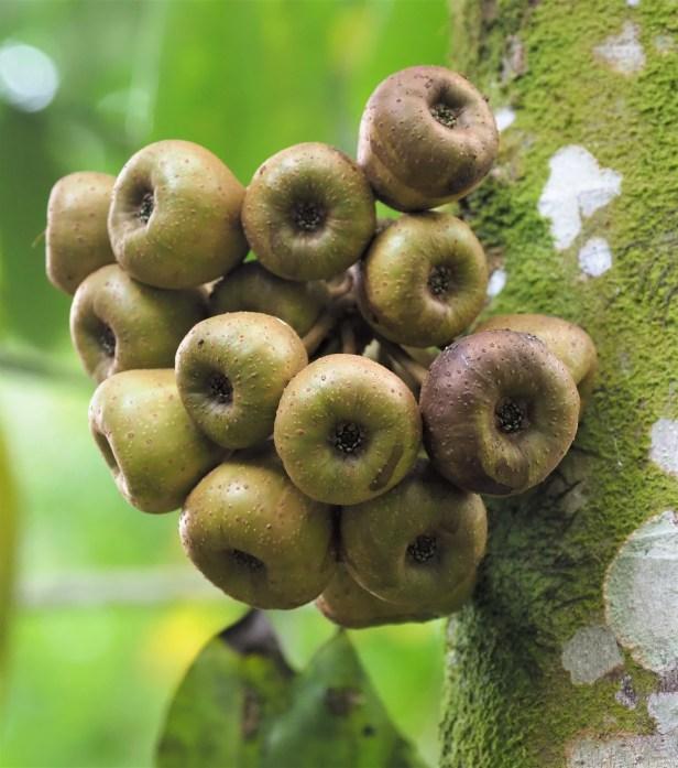 Ficus obpyramidata—Malaysia, Malay Peninsula, Taman Negara★Qin-Wen LIN_P1191539.JPG