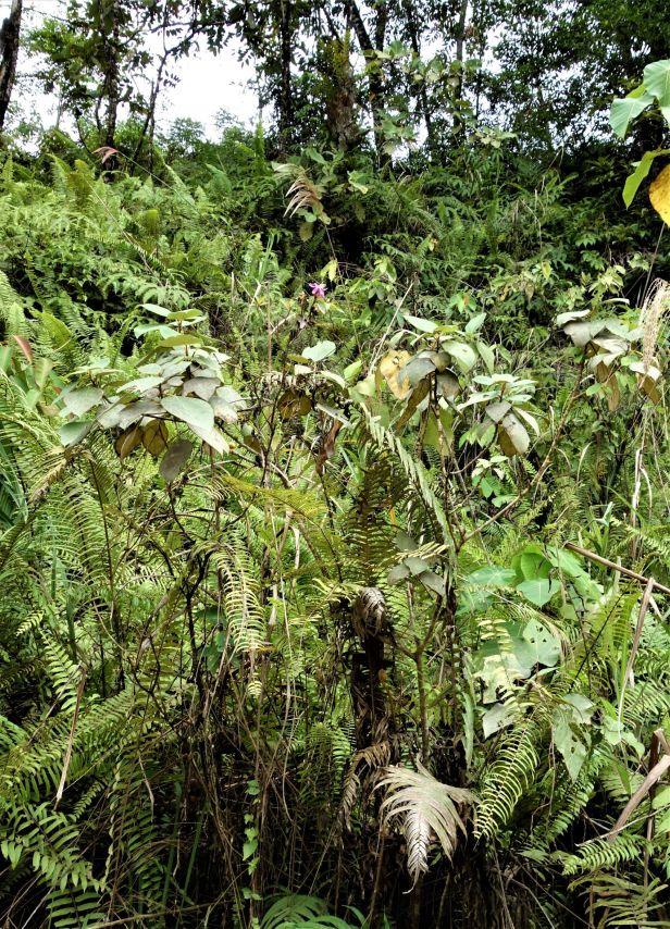 01 Ficus grossularioides EG814 a.JPG