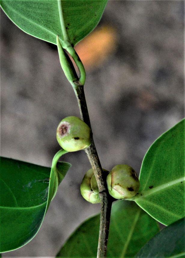 01 Ficus sumatrana Kg. Sukau, Kinabatangan, nr Police Station●20190466★ Shuai LIAO-LSL_3312