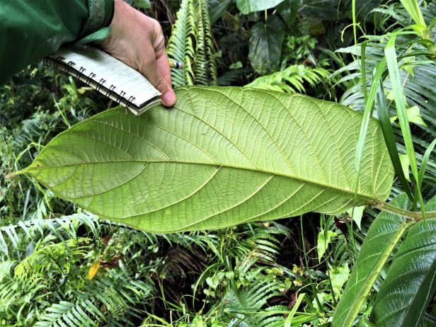 02 Ficus bulitrayaensis 02 14 February 2020 Sg Sebatu Kapit EG881