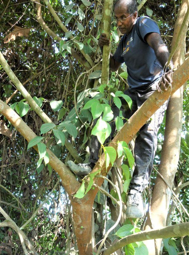 02   Ficus variegata EG826 Bukit Raya, Kapit .JPG