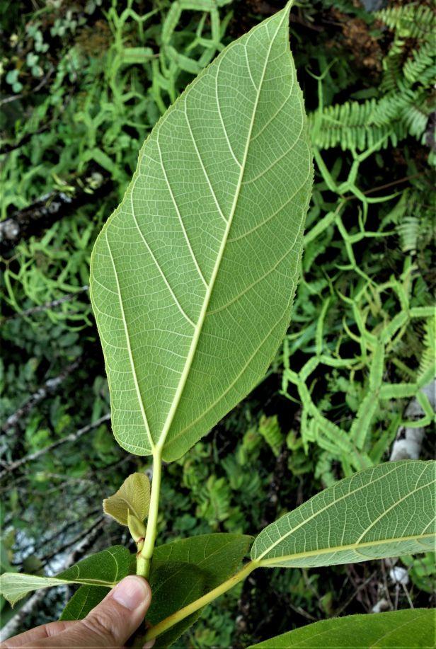 03 Ficus fulva EG810 a