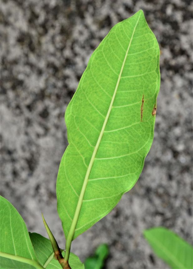 03 Ficus kerkhovenii Sepilok Nature Resort,●20190435★Shuai LIAO-LSL_2095.JPG