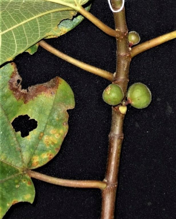06 Ficus fulva EG835 .JPG