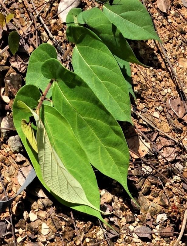 06 Ficus uncinata EG821 d.JPG