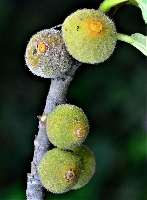08 Ficus fulva, Kg. Gondohon Ranau ●20190372★Shuai LIAO-LSL_9459