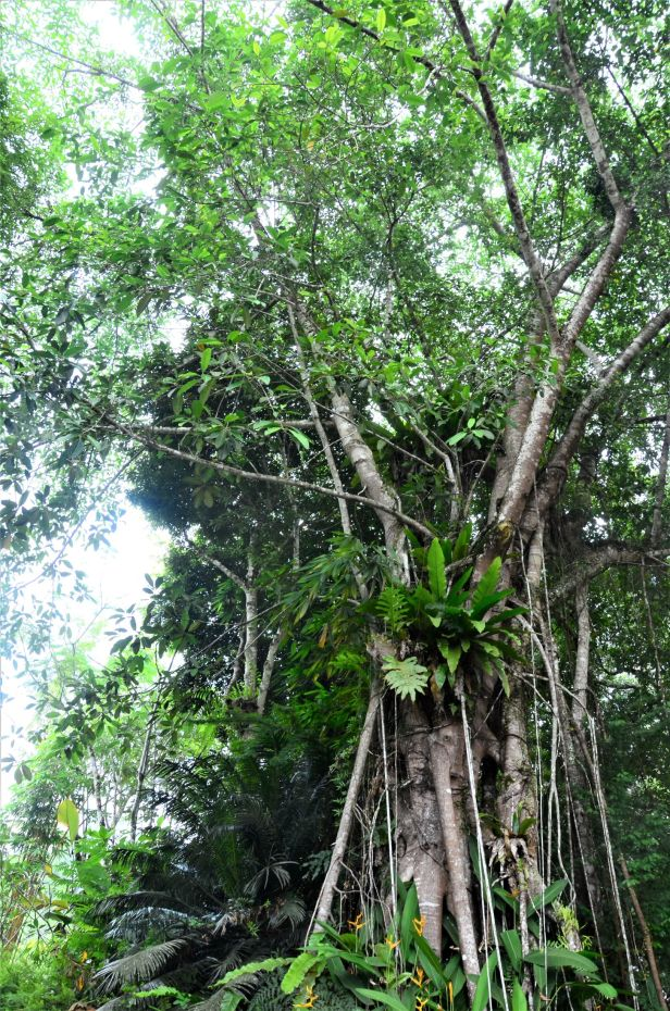 08 Ficus kerkhovenii Sepilok Nature Resort,●20190435★Shuai LIAO-LSL_2095.JPG