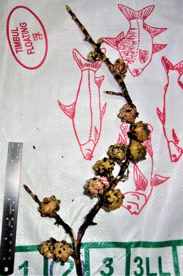 11 Ficus bukitrayaensis  Sg Sebatu Kapit 14 Feb 2020 EG884 .JPG