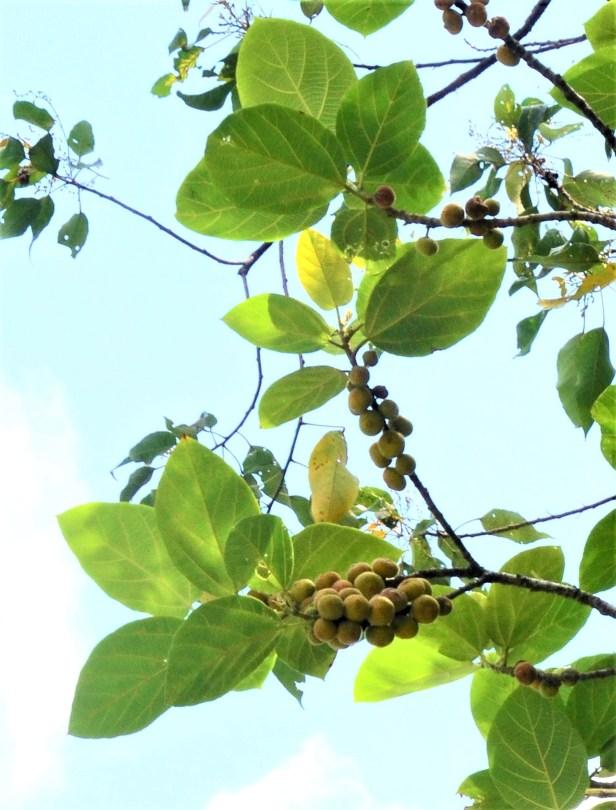 11 Ficus fulva, Kg. Gondohon Ranau ●20190372★Shuai LIAO-LSL_9459