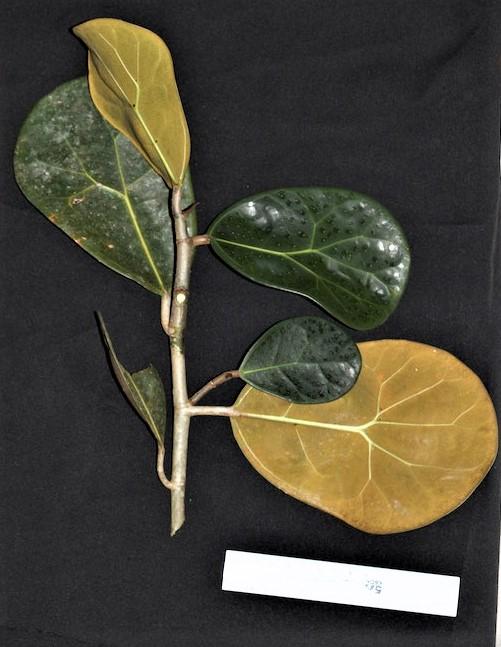 EG539a - 01 Ficus deltoidea huge leaves 15 cm ruler