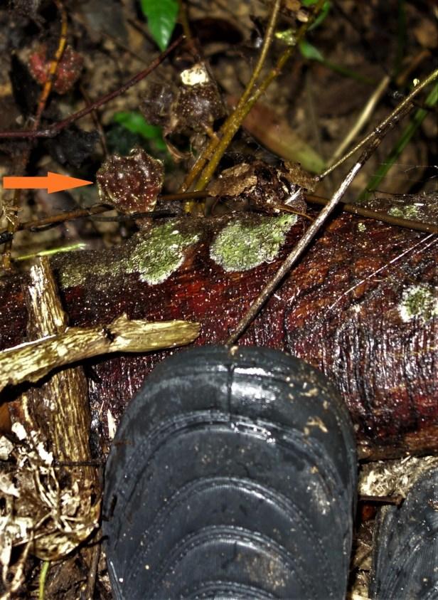 Ficus cf beccarri EG890 a.JPG