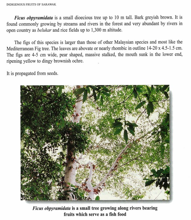 ITTO (2003) Part 02 Indigenous Fruits of Sarawak 23 MB_Page_72_Image_0001.jpg