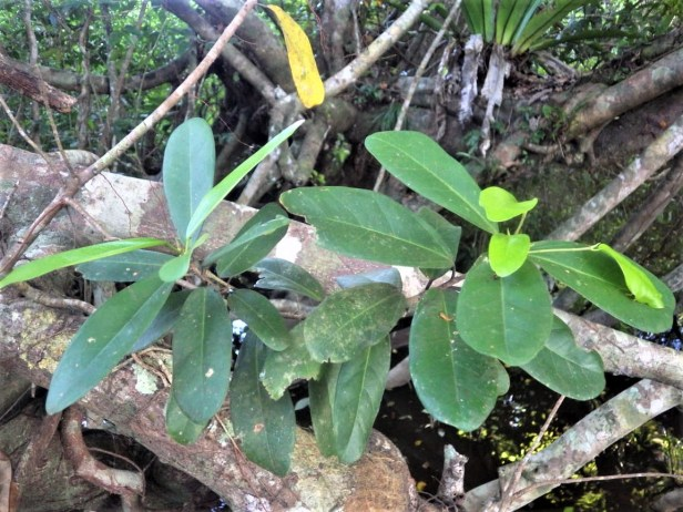 Ficus retusa pinggir Sg Katingan (14)
