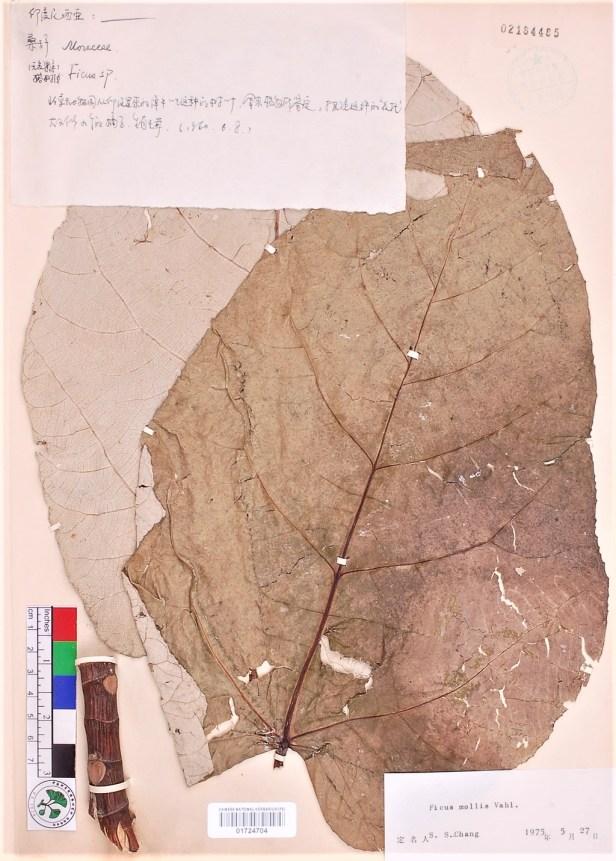 Ficus sp.—padana 04 Indonesia—1960-s.coll., #s.n.—PE01724704 -