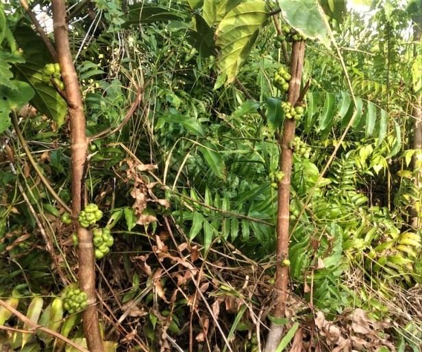 Ficus fistulosa Sg Kapuas Labay Dapi 16 July 2020  (13).jpg