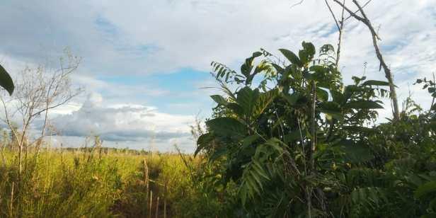 Ficus fistulosa Sg Kapuas Labay Dapi 16 July 2020  (14).jpg