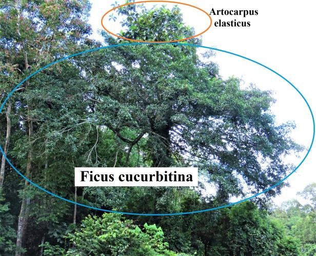 01 Ficus cucurbitina Deramakot Wong July 2020 (2) - Copy.JPG